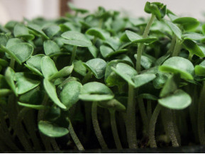 Growing your own super-foods, cost only pennies. They are hard to kill off, easy to sprout, and you have the assurance you are getting a safe, clean, and highly nutritious product.