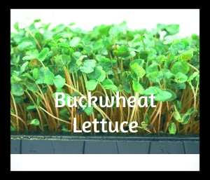 How To Grow Buckwheat Lettuce Micro-Green Sprouts